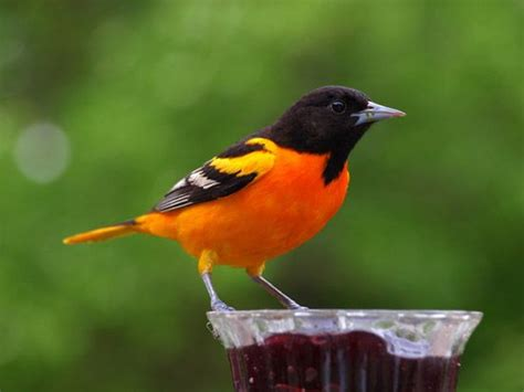 the gorgeous baltimore oriole official maryland state