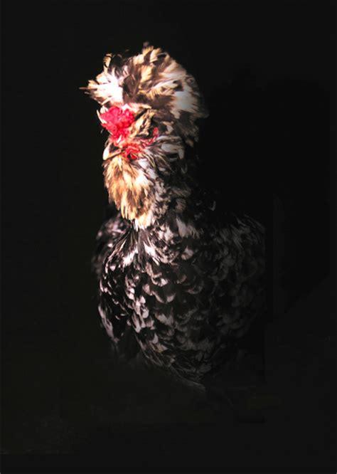 livre cuisine chef etoile œuf intrépide et chair de poule une poule sur un mur