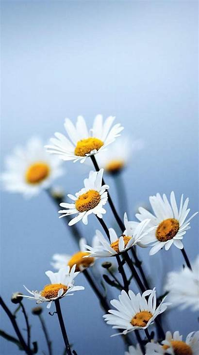 Flowers Daisies Wallpapers 720 1280 Android Appsapk