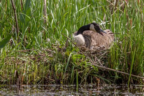 mother goose sitting tight  eggs    pond