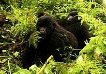 Rainforest Gorillas Habitat