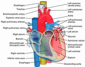 Pulmonary Artery Facts For Kids