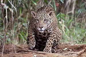 Panthera onca – Wikipédia, a enciclopédia livre  Jaguar