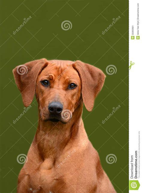 rhodesian ridgeback junior dog portrait stock image