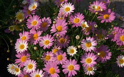 Daisies Daisy Flowers Pink Wallpapers Desktop Background