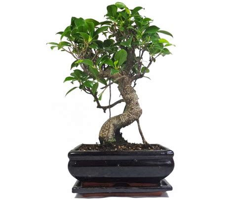 ficus fig indoor bonsai tree 18cm pot with drip tray