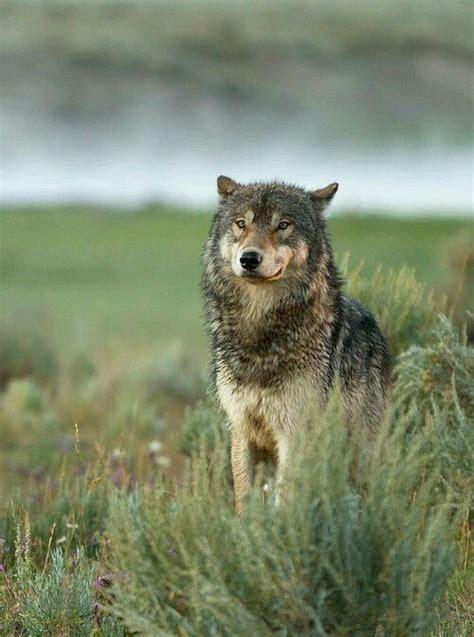 les  meilleures idees de la categorie meute de loup sur