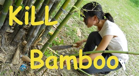 HOW TO GET RID OF BAMBOO from your yard! - YouTube