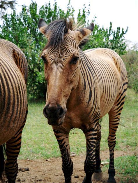 zebroid horses zebra horse rare kenya animals safari breed zorse zoo farm club bred donkey zebras baby unique visit gotta