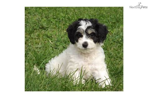 meet mini kirin cute aussiedoodle puppy sale minikirin