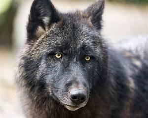 Black Timberwolf Dog   www.pixshark.com - Images Galleries ...