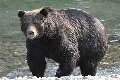 Grizzly Bears Confronted Bear Need