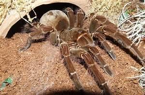 Faire Fuir Les Araignées : la mygale goliath est la plus grosse araign e du monde saviez vous ~ Melissatoandfro.com Idées de Décoration
