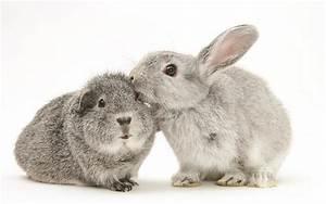 Rabbit And Guinea Pig Photograph by Jane Burton