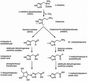 14  Histamine Synthesis And Metabolism  Modified From