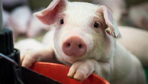 含培根及辣烤雞翅。 飯量固定, 恕無法調整。 豬肉產地為台灣及荷蘭。 雞肉產地為台灣。 瑪格麗特及夏威夷比薩 margherita and hawaii pizza. 最新的研究發現迷你豬在野豬族群擴張的過程中扮演重要的角色 - 農業科技決策資訊平台