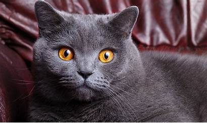 Shorthair British Cat Cats Animals Grey Wallpapers