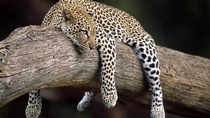 Animals Forest Leopard Nature Desktop Wallpapers Animal