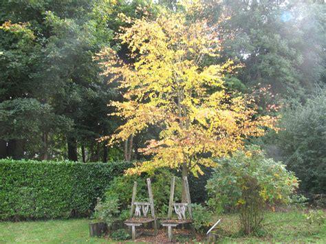 la cuisine d isabelle arbre à caramel cercidiphyllum japonicum culture et taille