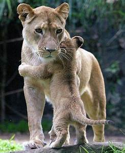 Baby lion cub with its mother | Beautiful animals | Pinterest