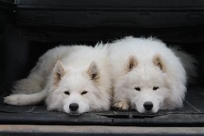 Samoyed Dog Dogs Canine Wallpapers Widescreen Pc