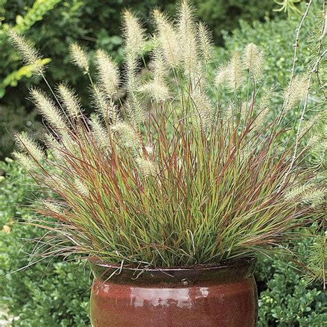 grasses for pots top 10 ornamental grasses for containers top inspired