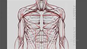 Human Anatomy: How to draw arms and hands - (front view ...