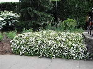 Nikko Deutzia (Deutzia gracilis 'Nikko') in Wilmette