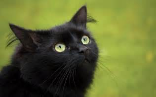 black cats with green black cat with green wallpaper