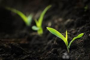 Ozone Treatment on Corn Seed Germination Kinetics