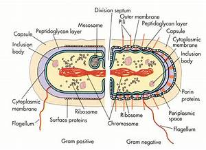 Bacterial Cell Diagrams