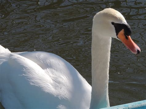 swan info photo