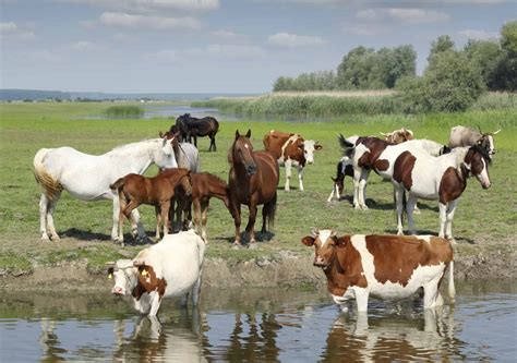 cows horses farm animals river horse livestock cow westward expansion cattle field water summer animal magazine farms management pond prints