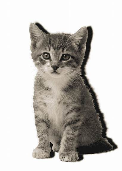 Cat Transparent Kitten Meow Sitting Giphy Animated