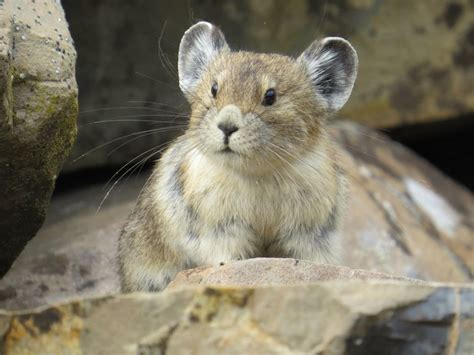 Adorable American Pika Is Fast Disappearing And Were