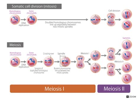Mitosis Has How Many Cell Divisions 18 2 Somatic Cell Division Mitosis And Meiosis
