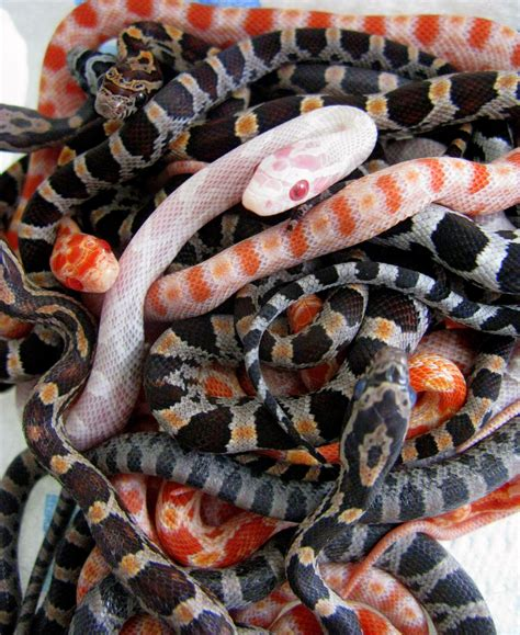 corn snake colors snakes on viper beautiful snakes and king cobra