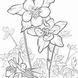 Columbine Flower Drawing Rocky Mountains Getdrawings Coloring sketch template
