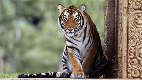 Tiger Animal Wallpaper - nature animals tiger big cats wallpapers hd desktop