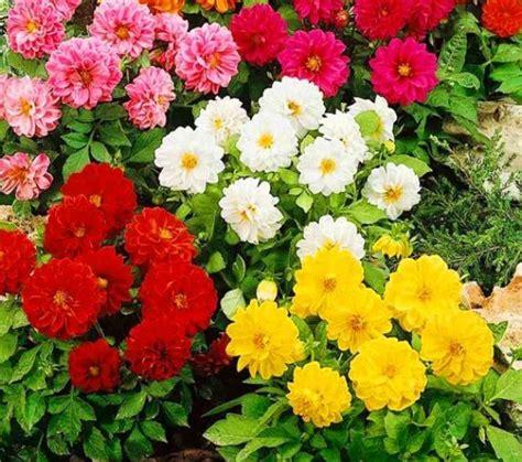 menanam bunga dahlia  biji httpbibitbunga