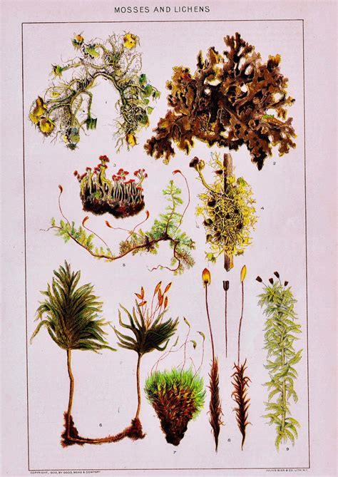 antique nature printable mosses lichens knick  time