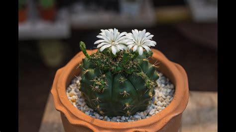 ยิมโนแม่ลูกดกออกดอกครั้งแรก(ปลูกมา 4 ปี) // Cactus Garage EP: 2 - YouTube