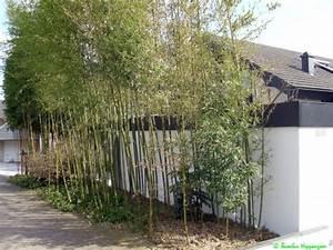 Bambus Im Winter : phyllostachys atrovaginata ~ Frokenaadalensverden.com Haus und Dekorationen