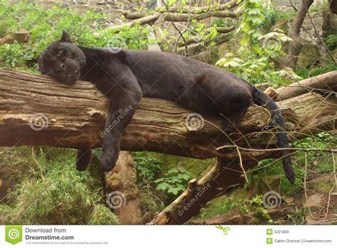 black jaguar royalty  stock images image