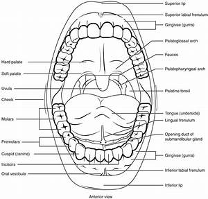 The Mouth  Pharynx  And Esophagus  U00b7 Anatomy And Physiology