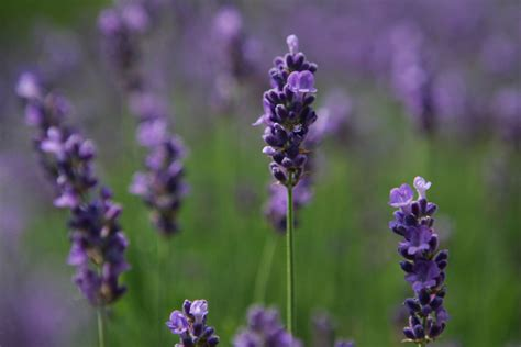 when do you plant lavender do you grow lavender in your garden you re part of the in crowd the real dirt toronto star