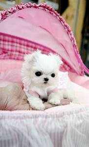 teacup maltese puppy | My dogs | Pinterest