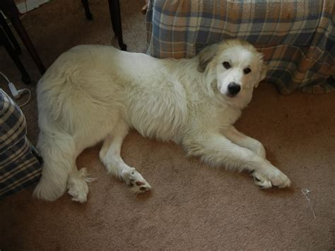Great Pyrenees Shedding by Grooming For A Great Pyrenees