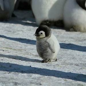 waddling baby penguin to