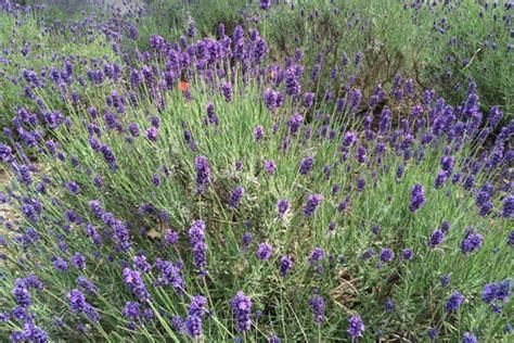 Lavendel Im Garten Pflanzen, Schneiden Und überwintern